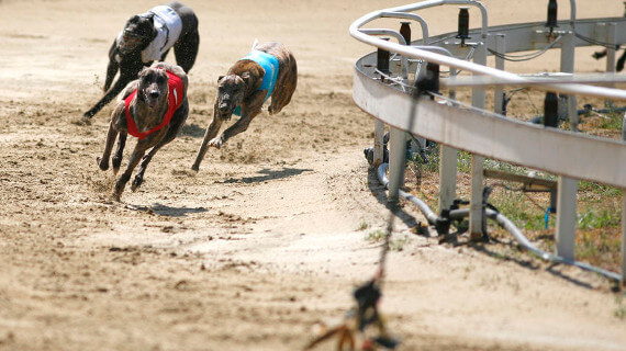 free greyhounds betting odds